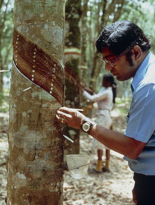 Inspection of tapped rubber trees on plantation