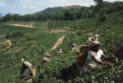 Workers on a Tea plantation ,Sri Lanka