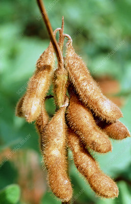 Ripe pods of soya bean plant