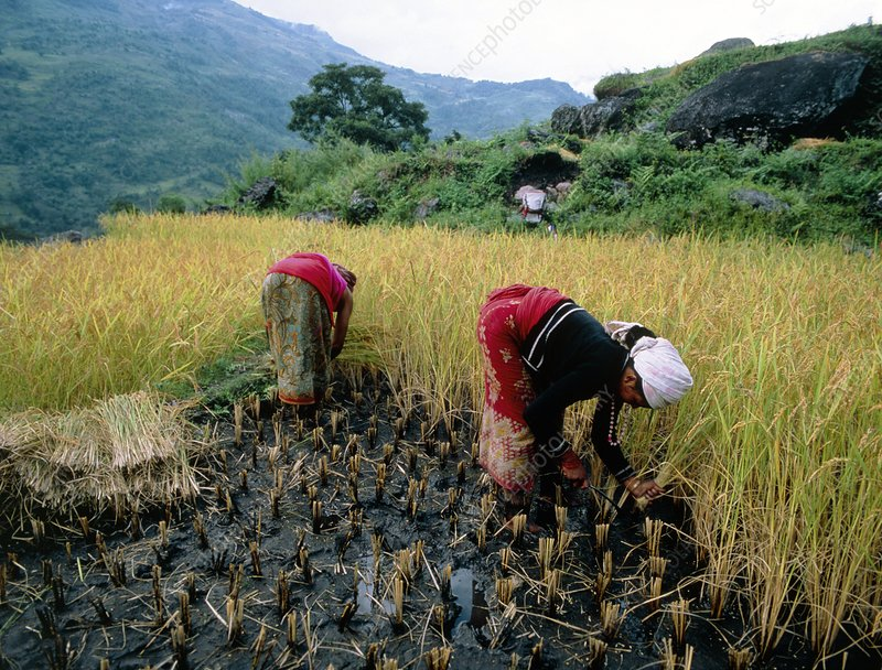 Harvesting of rice in Himalyan foothils