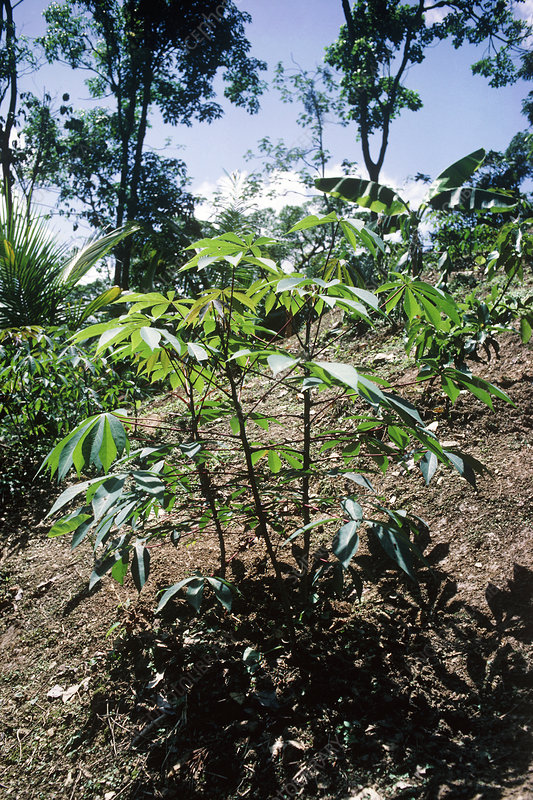 A cassava plant cultivated in Trinidad rain forest
