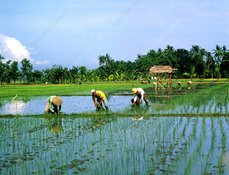 Rice planting in Bali, Indonesia