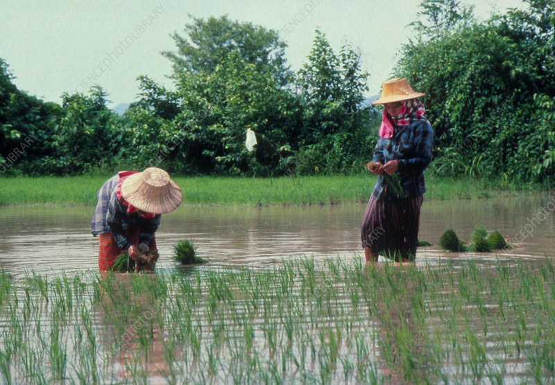 Planting rice in paddy fields, Thailand.