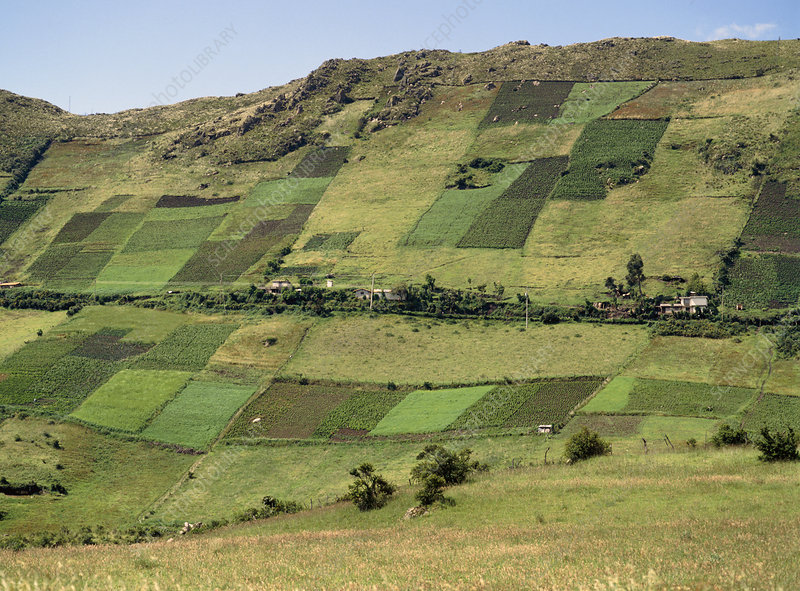 Fields of potato and maize on steep Andean slopes
