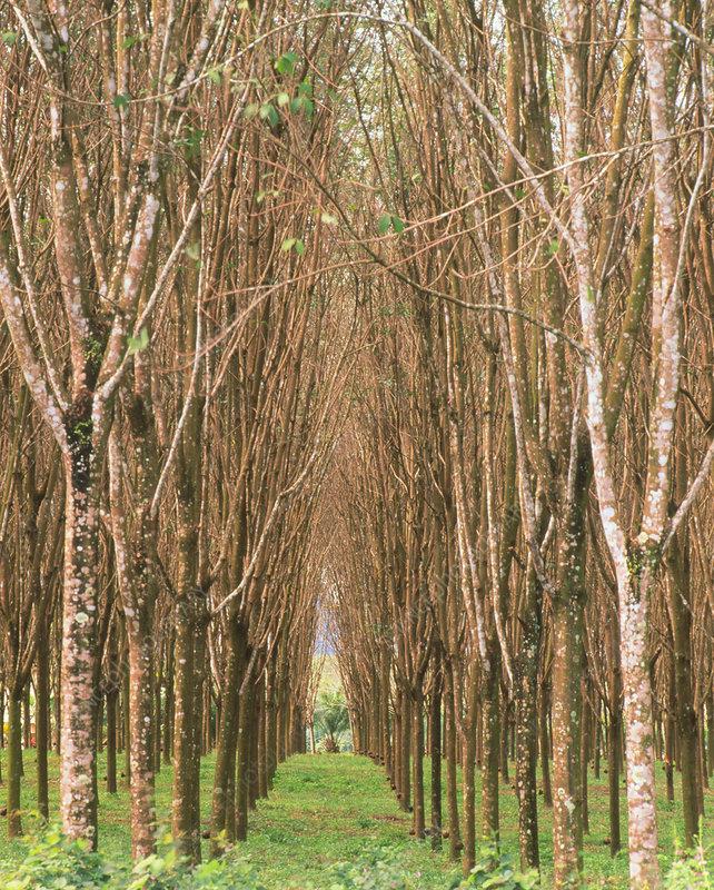 Rubber tree plantation, Thailand - Stock Image - E768/0128 ...