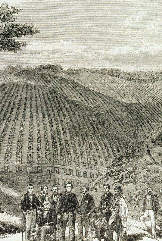 19th century engraving of quinine tree plantation