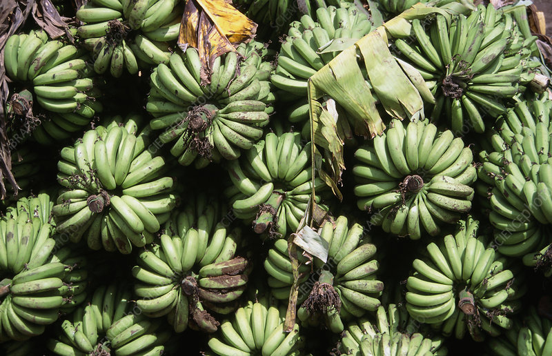 Green banana crop in a stack