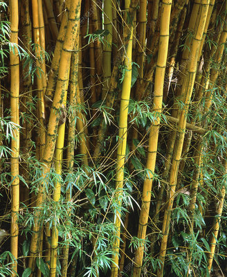 View of a growing crop of bamboo