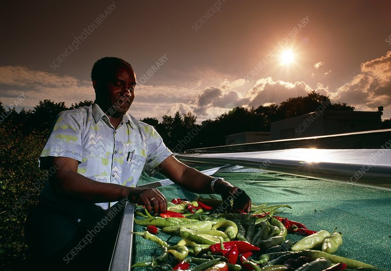 Farmer drying chillies in a solar drier