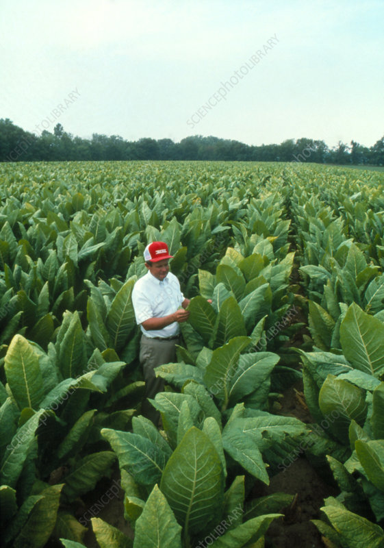 Tobacco farmer