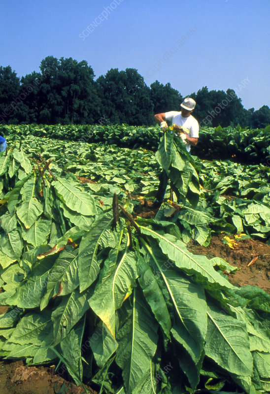 Tobacco harvest