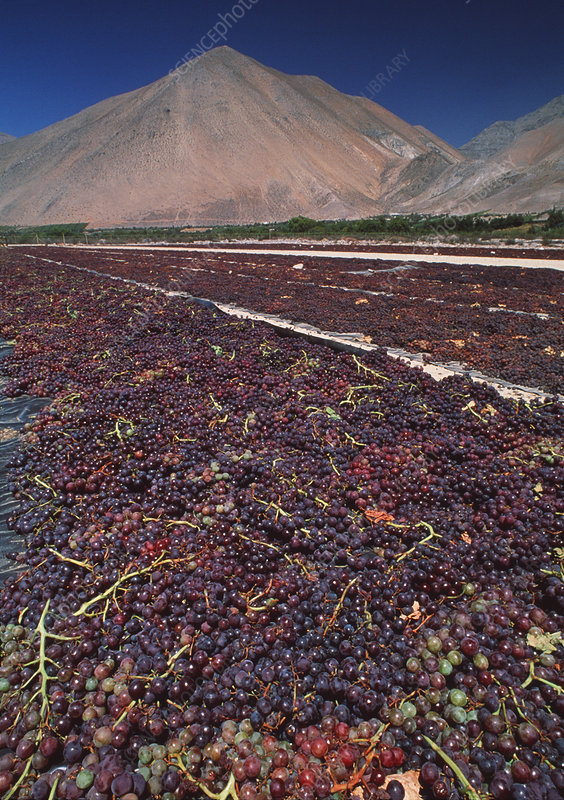 Grapes drying in sun