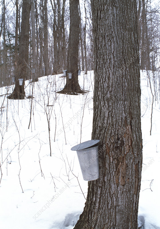 Collecting maple tree sap