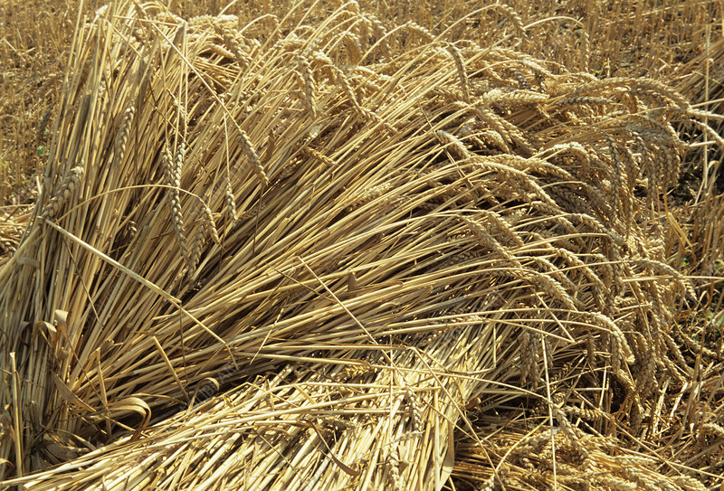 Wheat sheaves