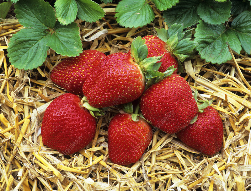 Fragaria x ananassa 'Soverign'