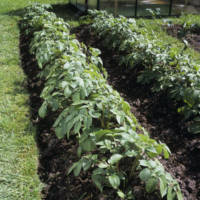 Organic potato plants