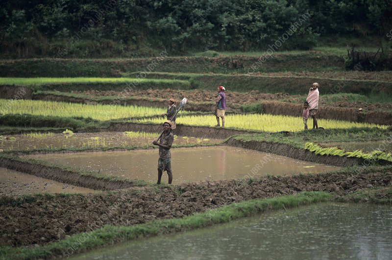 Paddy field workers