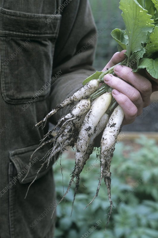 Gardener holding freshly picked radishes