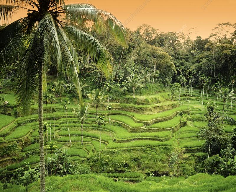 Rice terraces indonesia stock image e768 0507 science for Terrace farming model