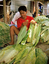 Man drying tobacco leaves