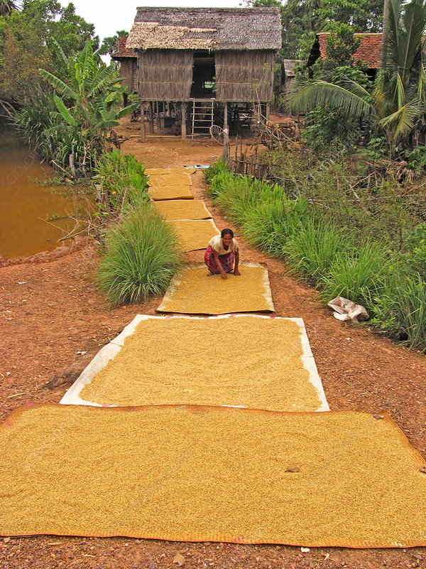 Rice grains drying