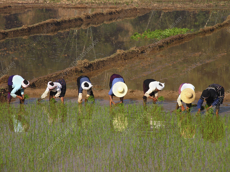 Workers planting rice