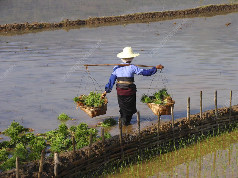 Worker in a rice field