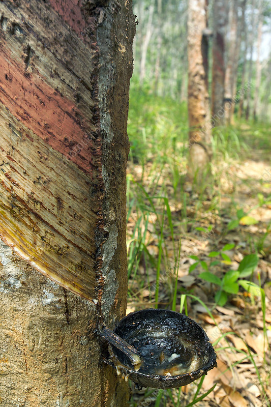 Tapped rubber tree