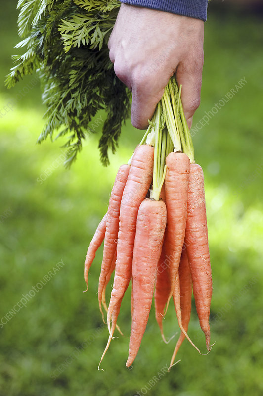 Harvested organic carrots