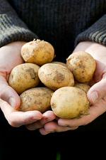 Harvested new potatoes