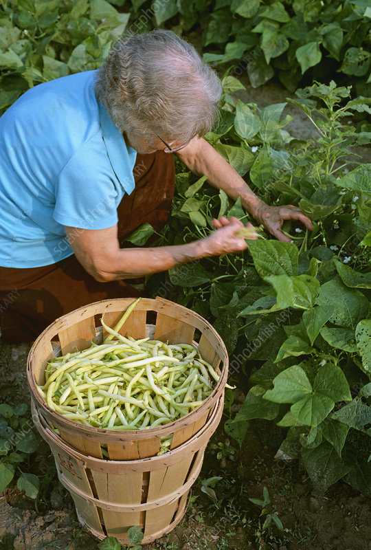 Picking yellow stringbeans