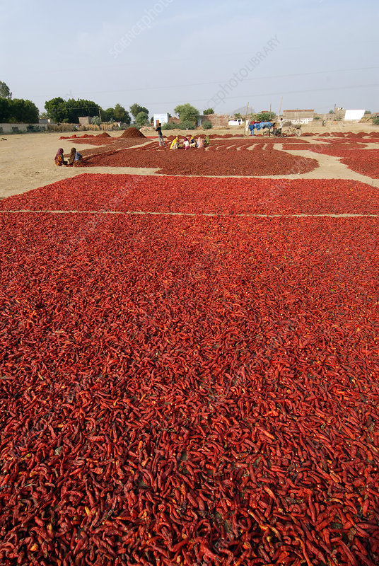 Chilli peppers drying, India