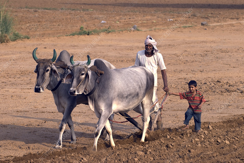 Farmer driving cattle, India