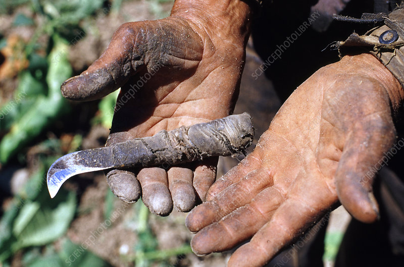 Hands of a Tobacco Farmer