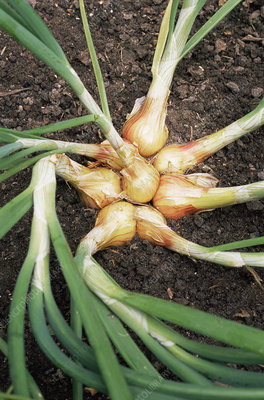 Onions (Allium cepa 'Red Sun')