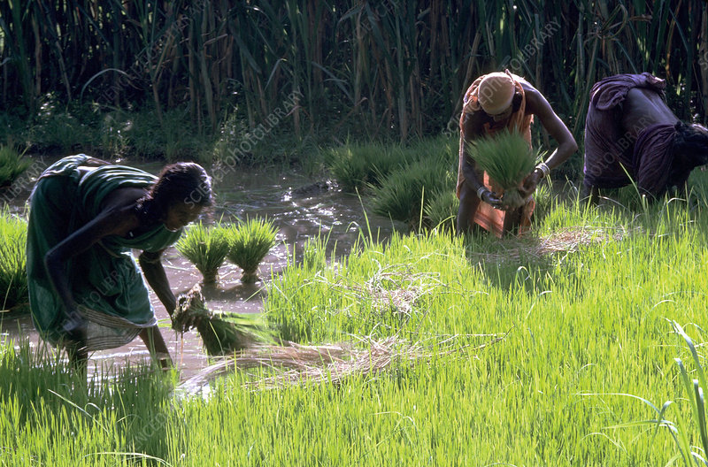 Rice farming in a paddy field