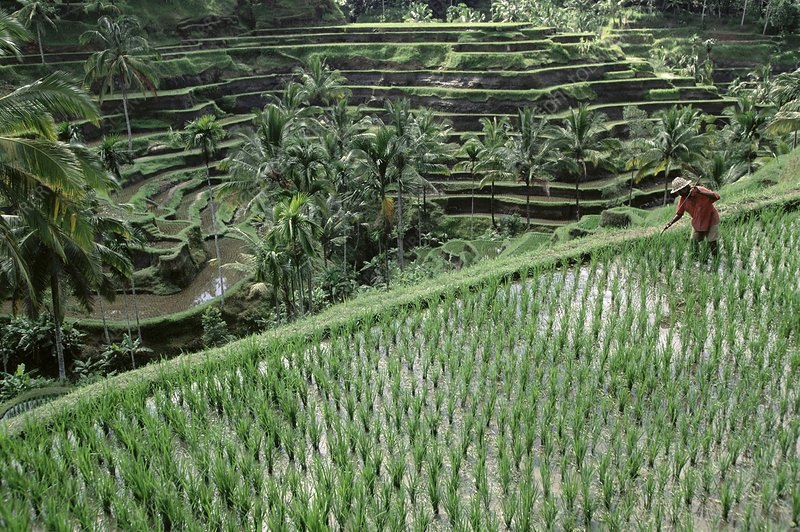 Rice farming, Indonesia