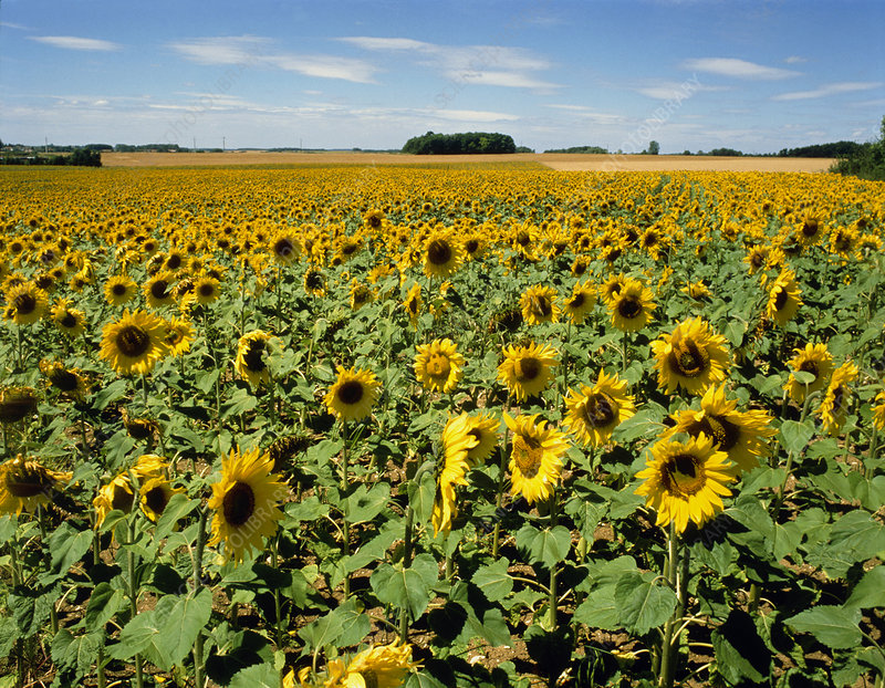 Field of sunflowers