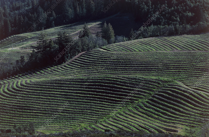 View of a terraced vineyard in California
