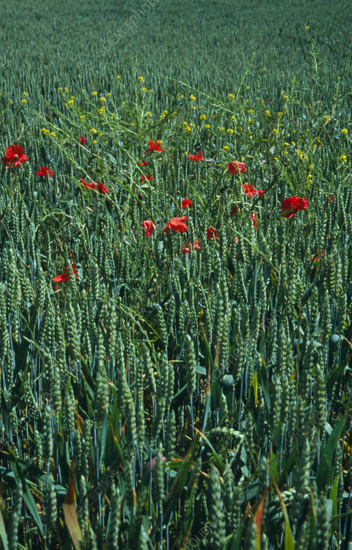 Poppies & other weeds growing in a field of wheat