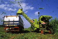 The harvesting of a sweet sorghum crop