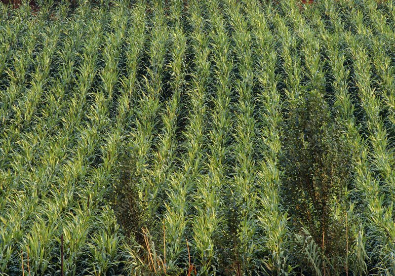 Fields cultivated with sweet sorghum plants