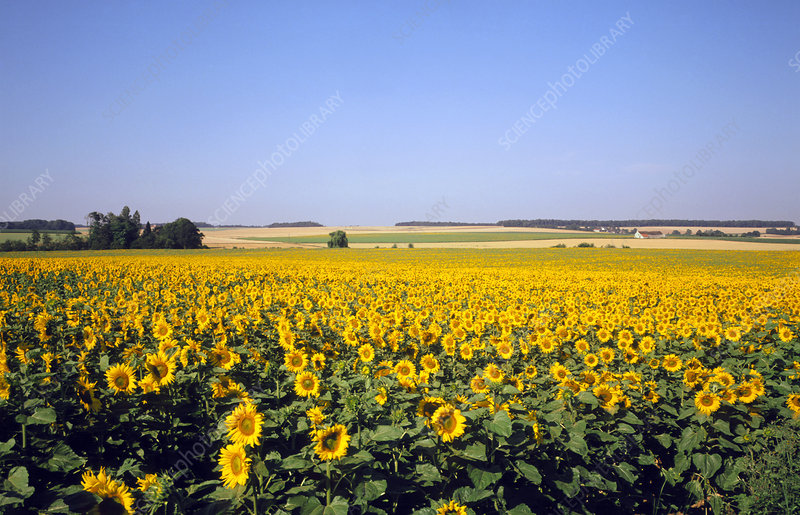 Field of sunflowers, France