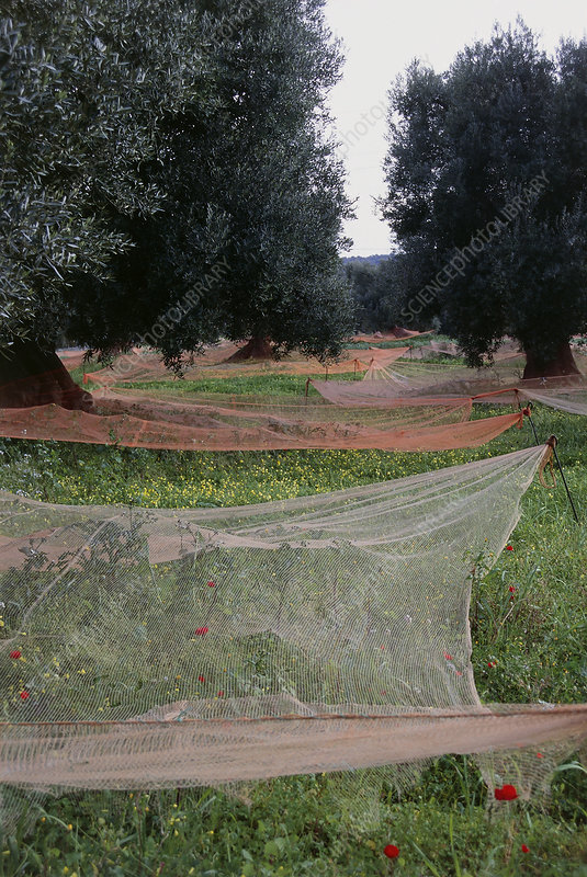 Orchard of olive trees, with harvest nets