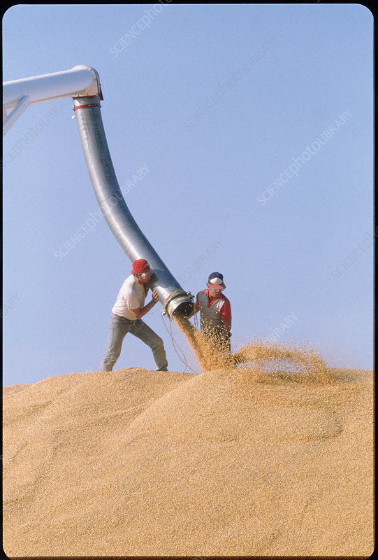 Pile of maize grain after a harvest