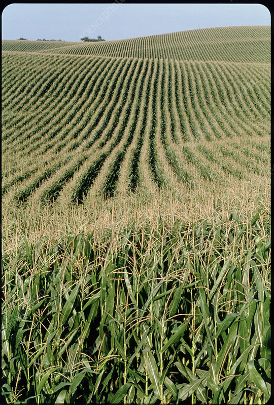 Rows of cereal crops in a field