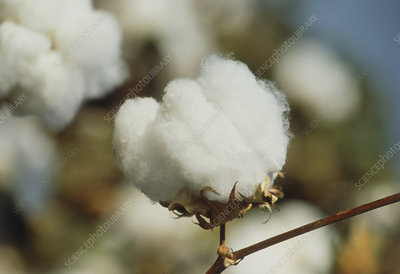Seed capsules (bolls) of a cotton plant