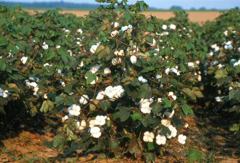 Rows of cotton plants in a field