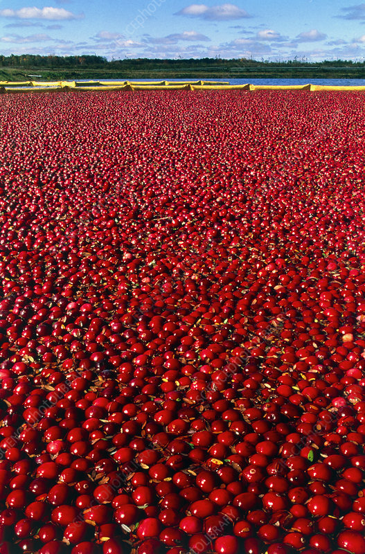 Cranberries floating in water during the harvest