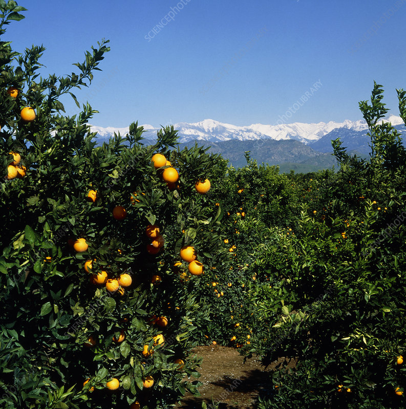 Navel oranges, Citrus sinensis, in an orchard